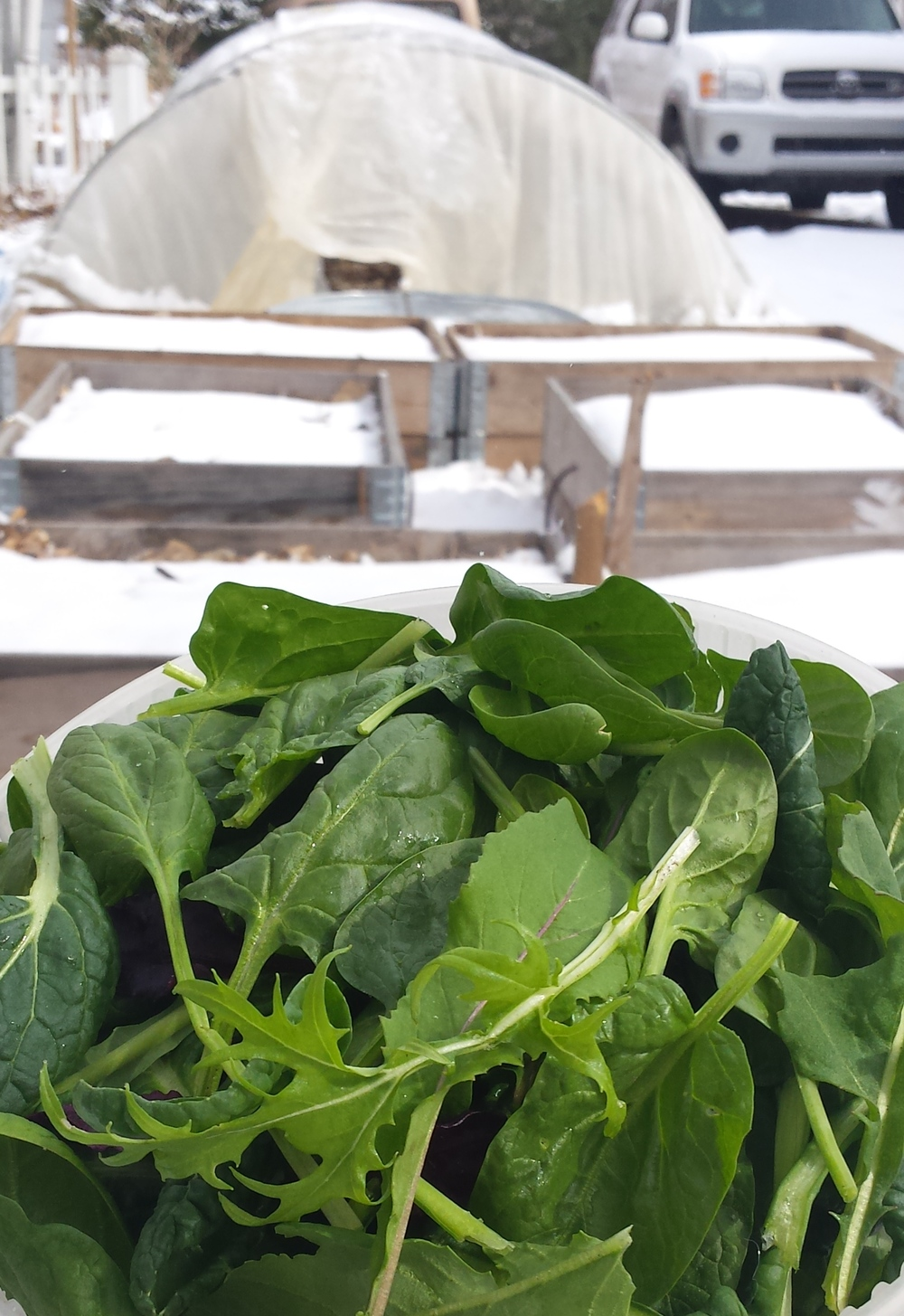 harvesting greens in the snow, growing food in winter, colorado