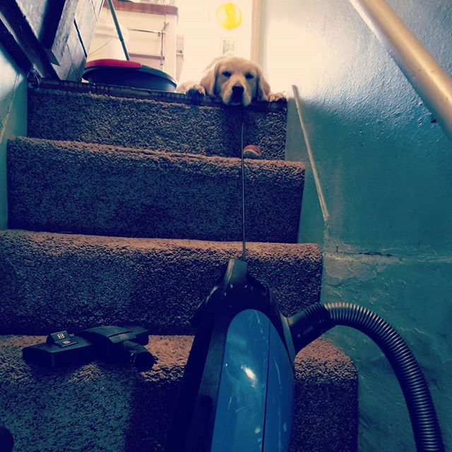 "While vacuuming the basement stairs I look up and see this face. ""Really Mom? You're going to choose that over playing with me?"" He's my home buddy. #murraysailer #makingmeadoglover"