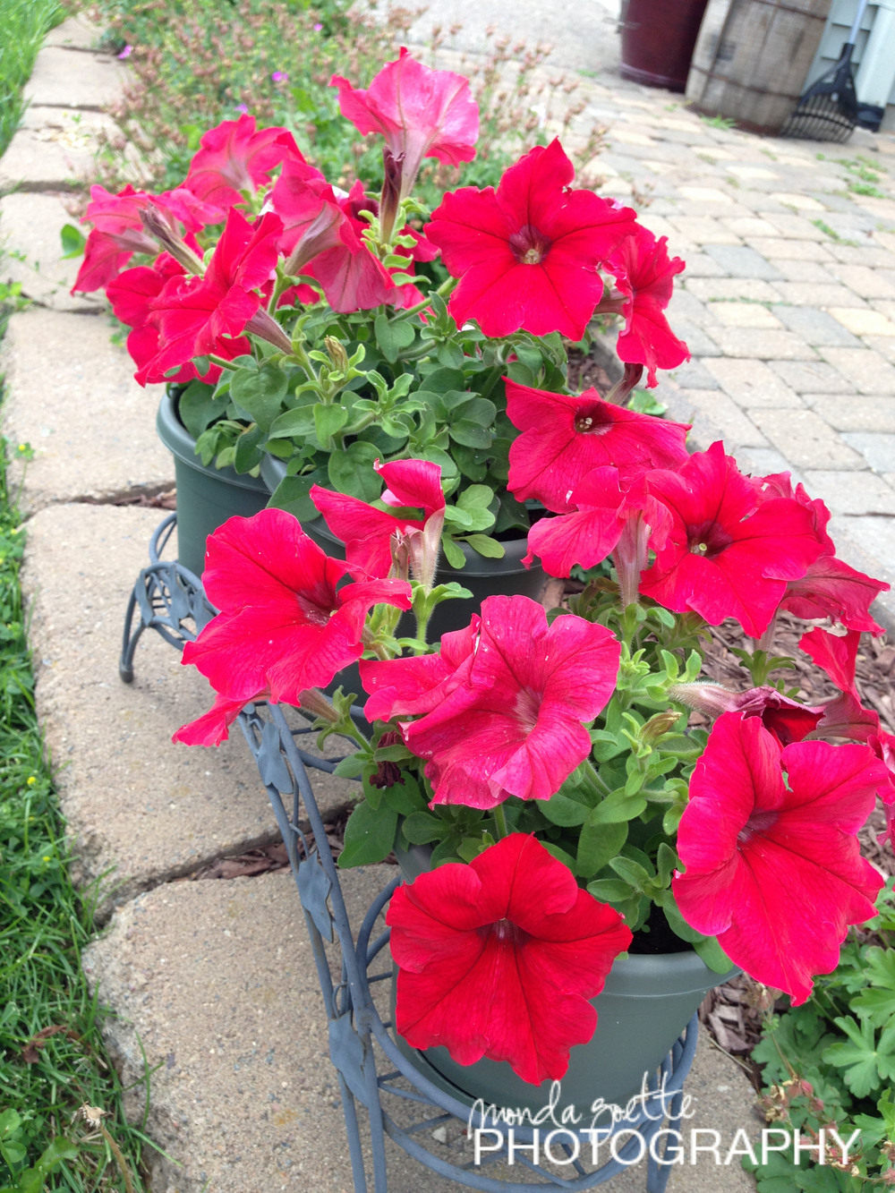 "My ""clearance"" petunia flowers from Lowes. They are so beautiful!"
