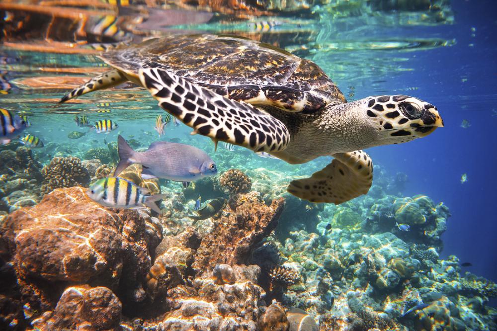 playa-del-carmen-boat-tours-hawksbill-turtle