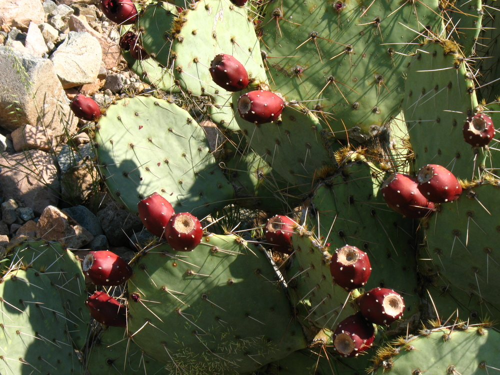 Prickly Pear Tuna (Fruit)
