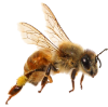 shutterstock_bee 2 png.png