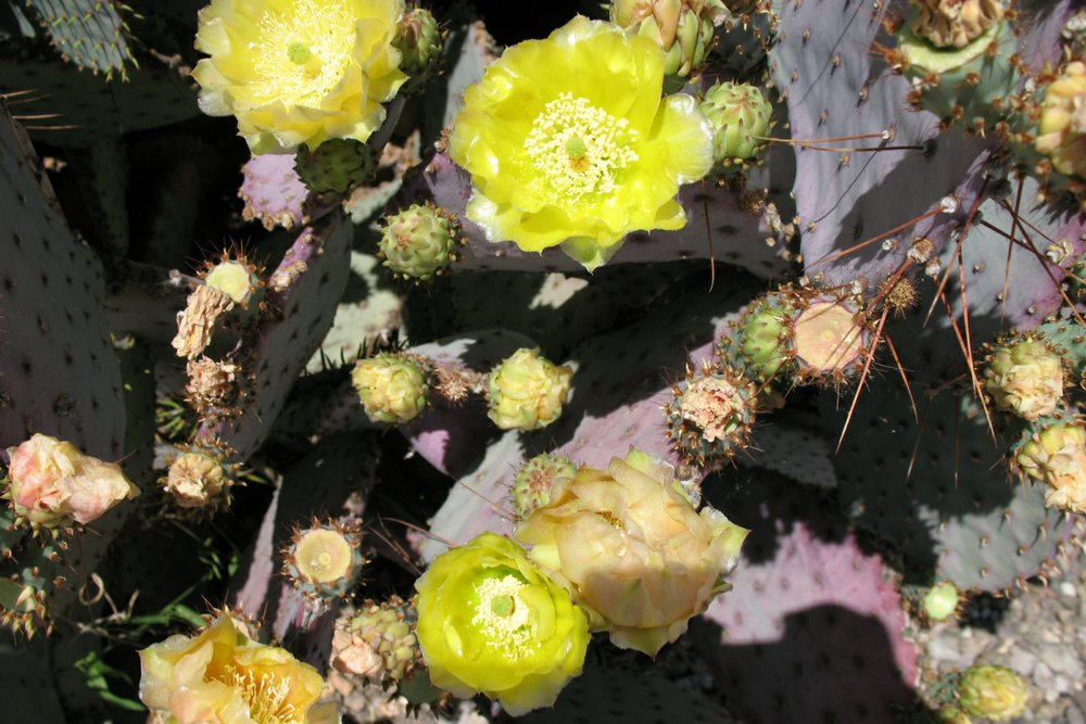 Harvesting Prickly Pear Fruit -
