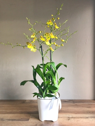 Hybrid Orchid || Orchids + Plants Collection || King Florist