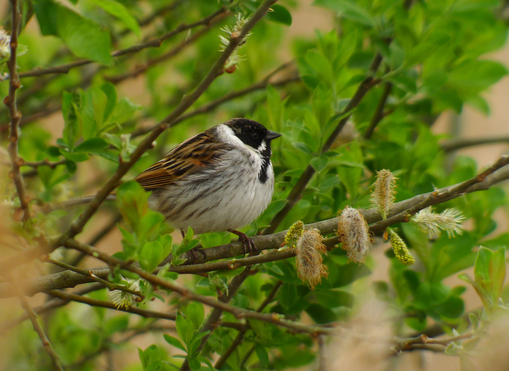 Reed Bunting  ©  Stephen Rutt