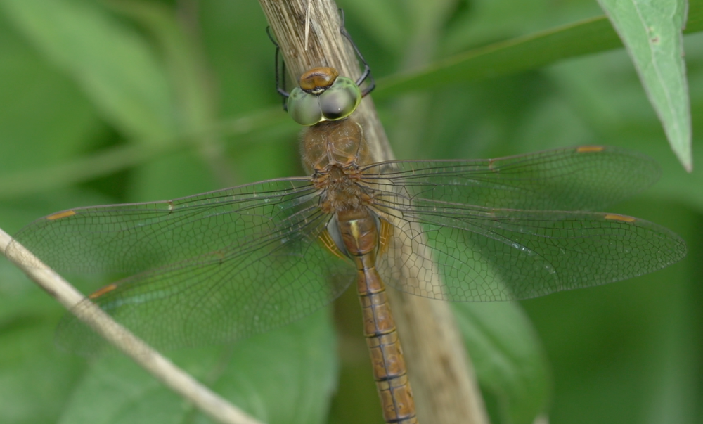 Norfolk Hawker ©NatureGuides