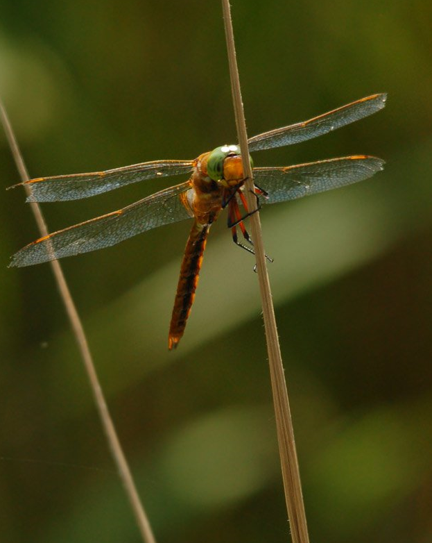 Norfolk Hawker ©Stephen Rutt