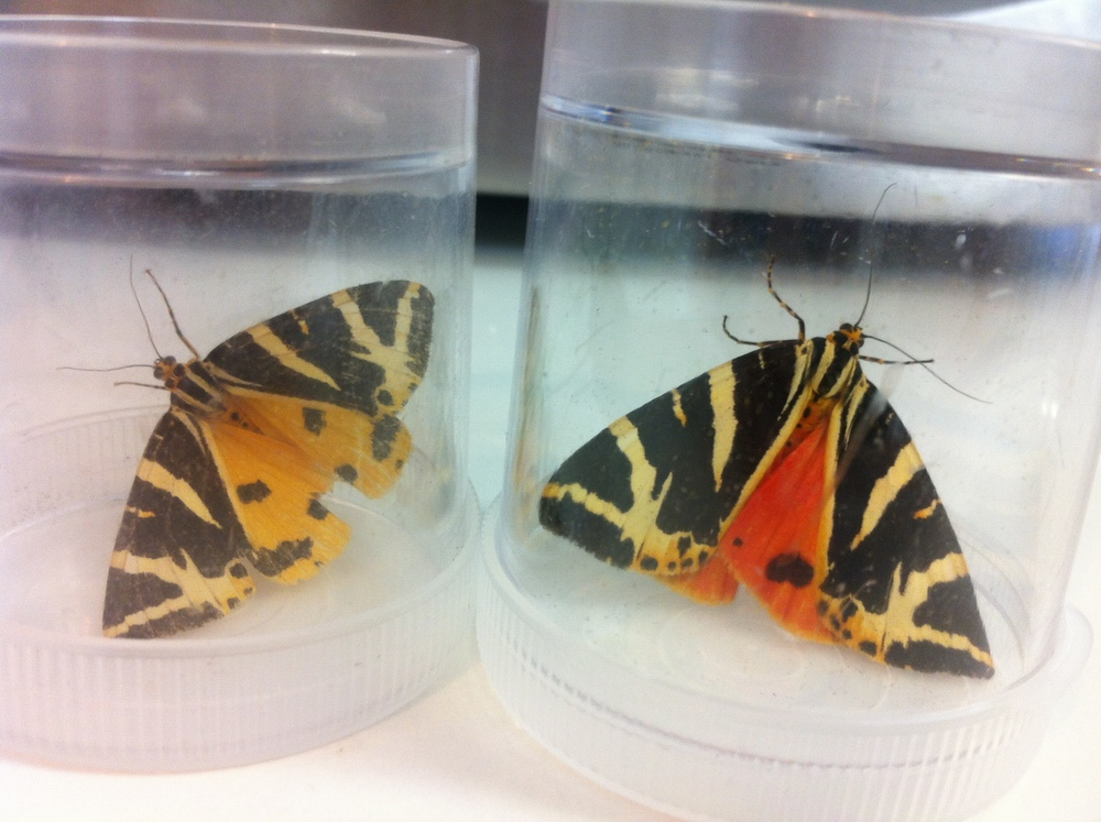 Jersey Tiger f.  lutescens  (left) and the standard form of Jersey Tiger.