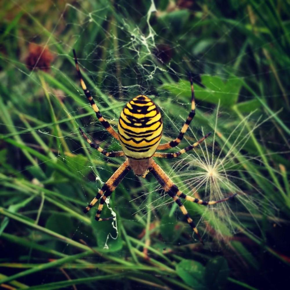 Wasp Spider © Stephen Menzie