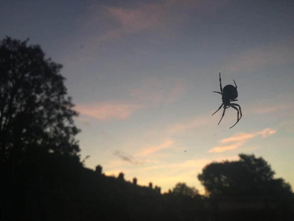 Garden Spider © Stephen Rutt