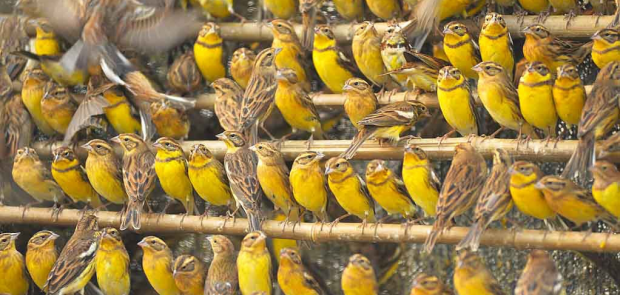 Yellow-breasted Buntings in a holding cage after being trapped whilst roosting © Huang Qiusheng