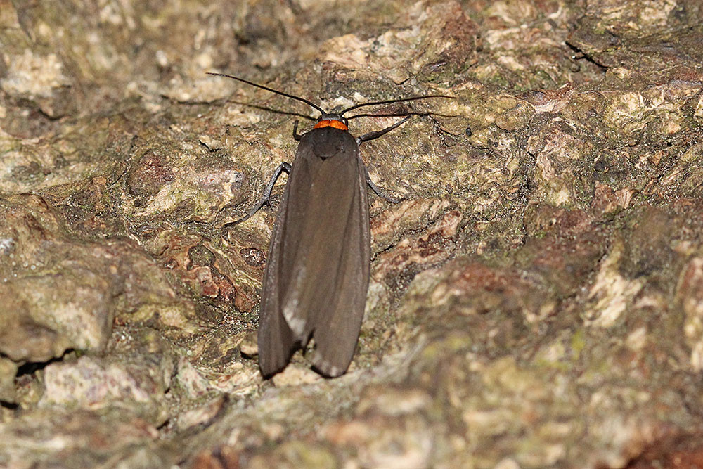Red-necked Footman