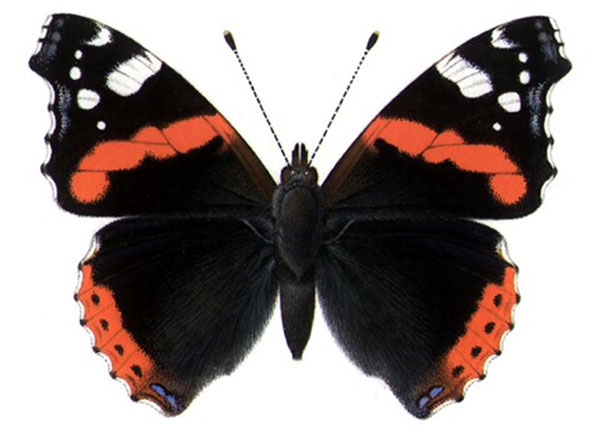 Red Admiral © Richard Lewington, taken from Butterflies of Britain & Ireland app