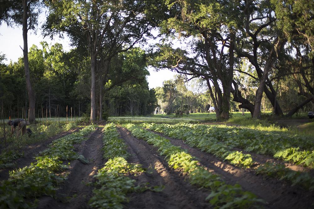 Squash, Cucumber and Watermelon Field