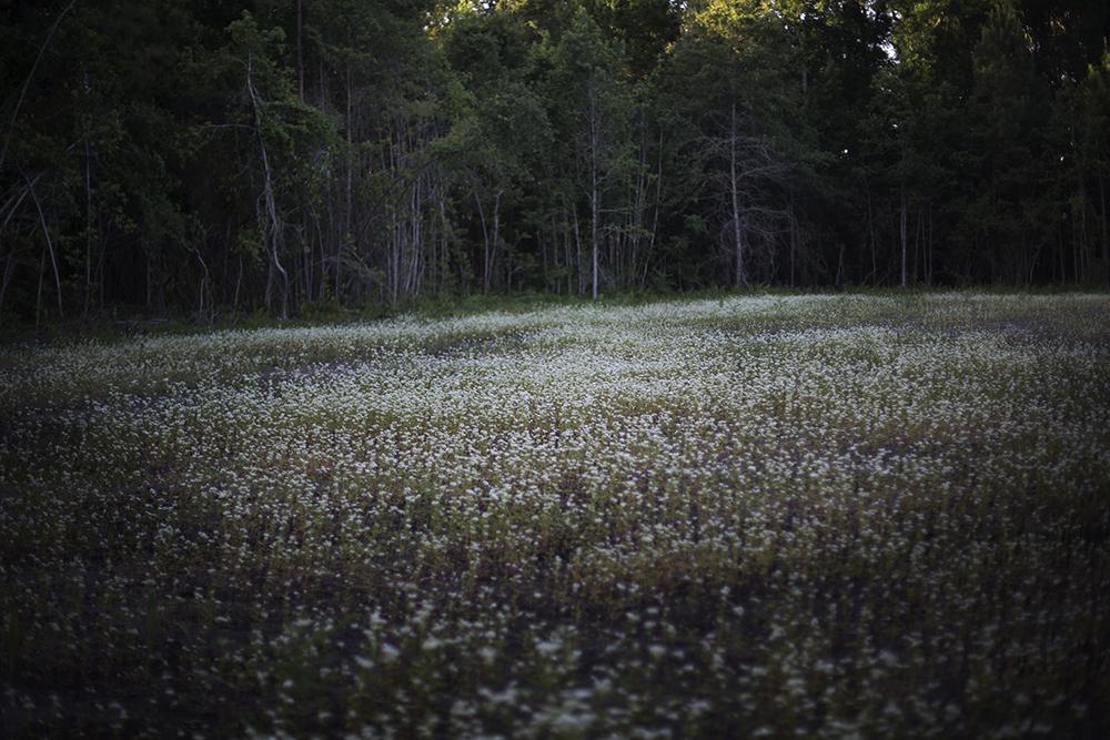 Buckwheat in Flower