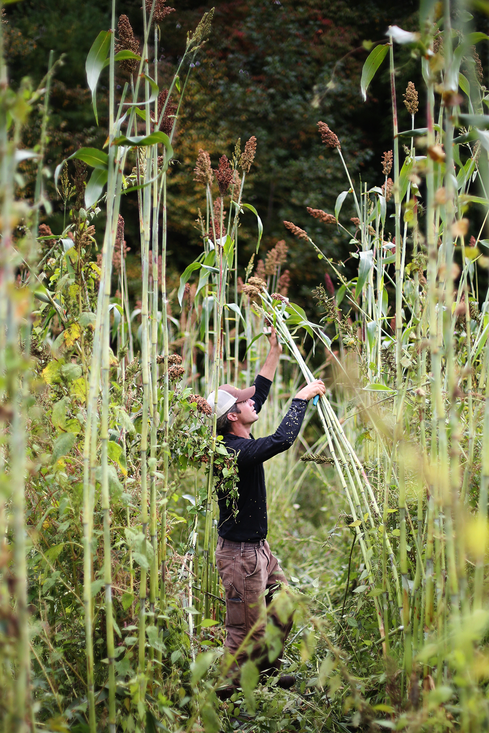 Sorghum Harvest, Canewater Appalachia