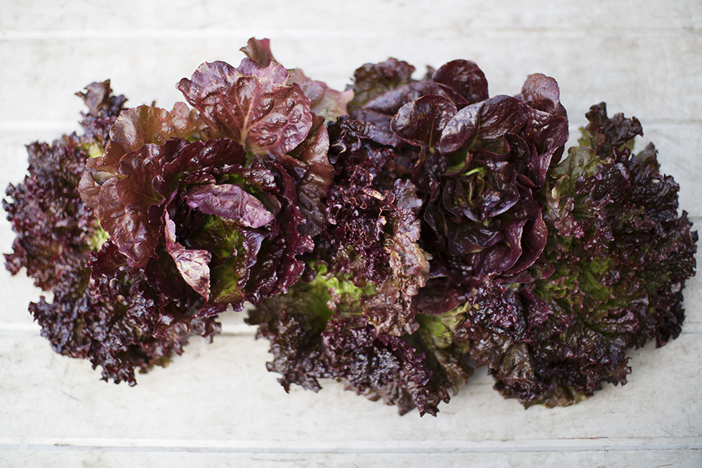 Red Head Lettuce