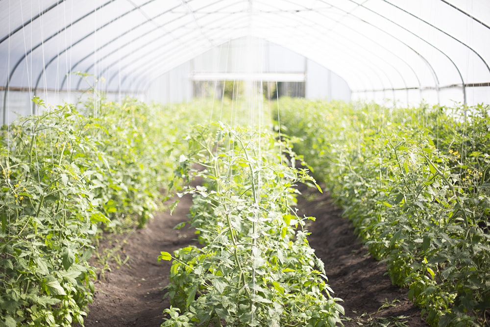 Hoop House Tomatoes 2018