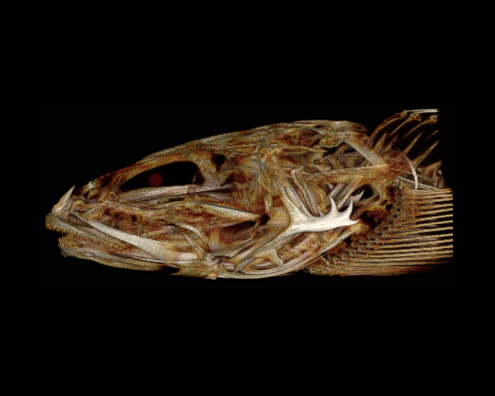 Staghorn Sculpin (Leptocottus armatus)