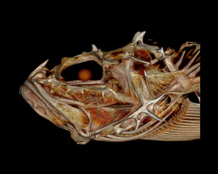 Spinyhead Sculpin (Dasycottus setiger)