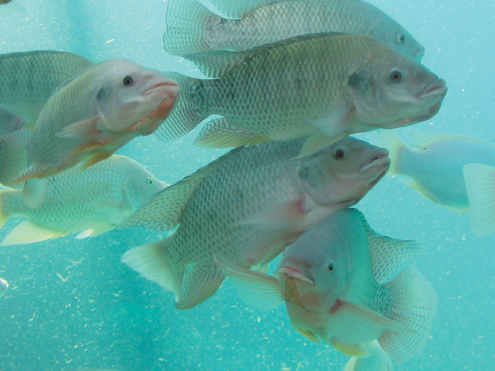Tilapia's rapid growth and natural disease resistance makes the species well suited to Aquaponic farming.