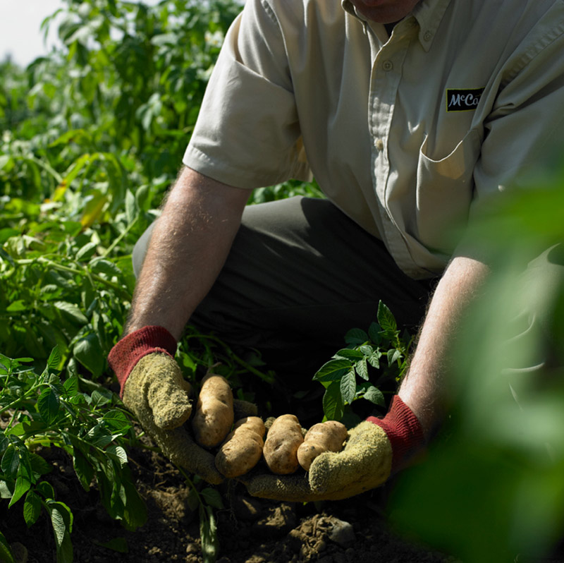 Potatoes can go from the farm to a packaged, finished product in less than 12 hours.