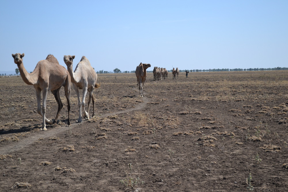 Camels are herded across the dry and dusty landscape of Ethiopia's remote northern Afar region. Many people in this region raise camels as part of their livelihoods.