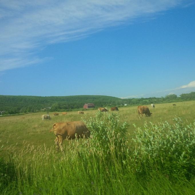 Cows NS.jpg