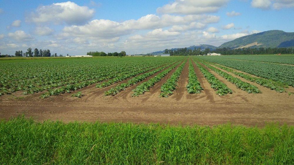 Zucchini fields BC.jpg