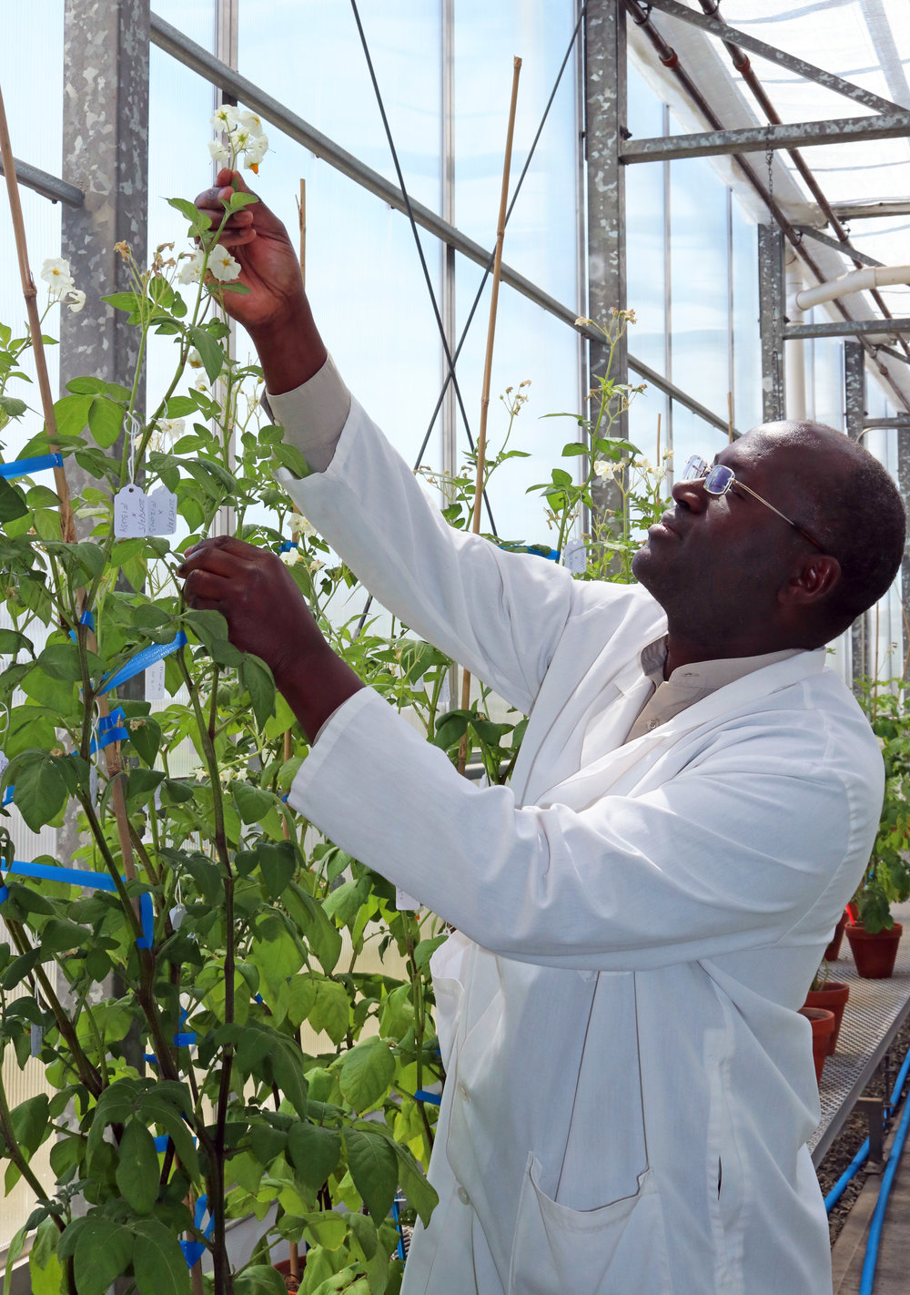Dr. Benoit Bizimungu, Head Potato Researcher at the potato Research Centre, tends to some potatoes.