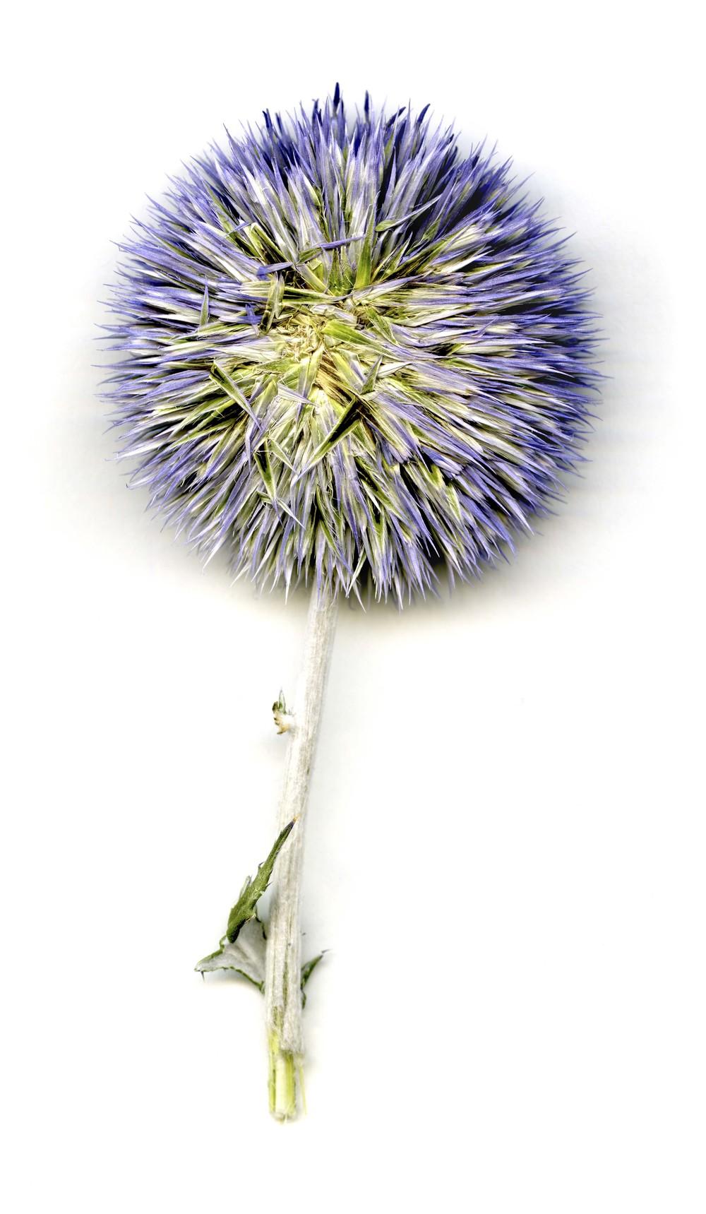 echinops ritro_veitch's blue_print.jpg