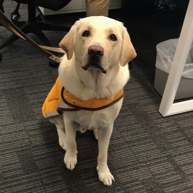 Fur Friday's in the office. It doesn't get much better than this! #furfridays #guidedogs #guidedogsaustralia #dissandco