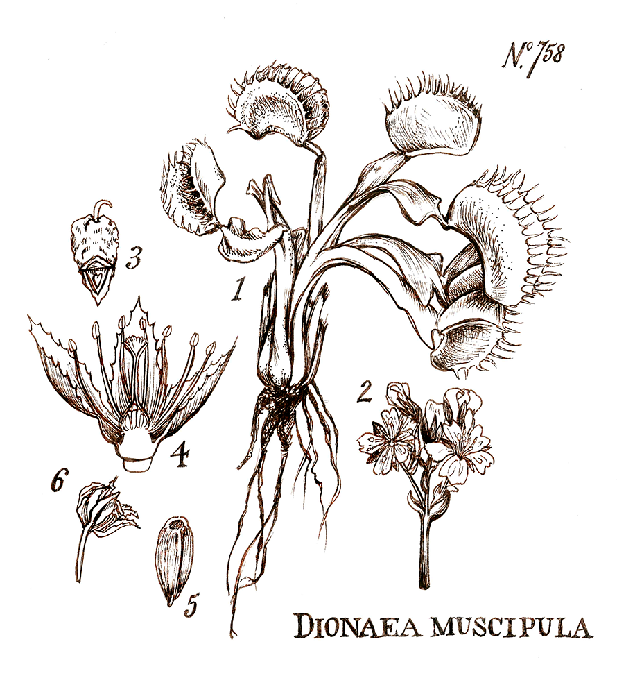 Dionaea Muscipula    Ink on paper    5 in x 6 in    Shirt design for Blacksands Original