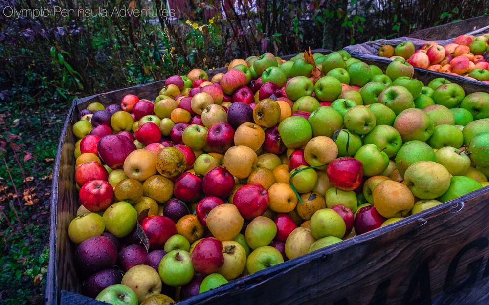 Heirloomvariety cider apples.