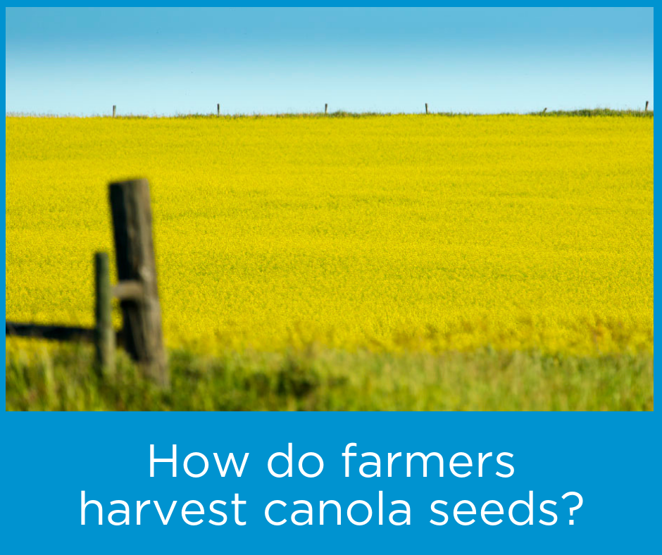 How-do-farmers-harvest-canola-seeds.png