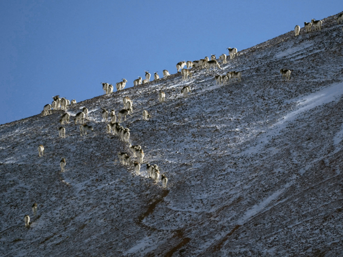 Curly-horned Marco Polo sheep on a mountain side, spotted during the Borderski expedition in 2015. Photo credit: Kate Harris.