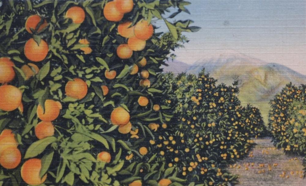 orange grove postcard.JPG