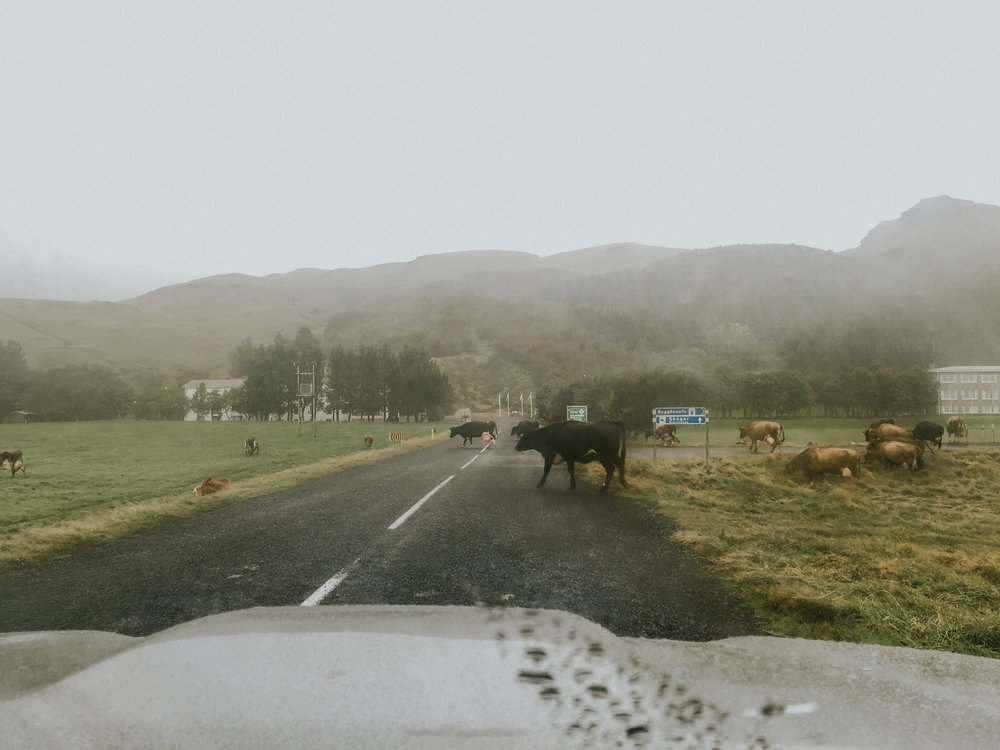 Cow crossing!