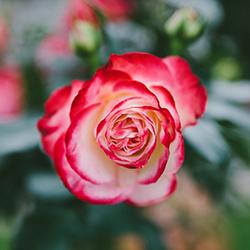 CKS Rose Garden