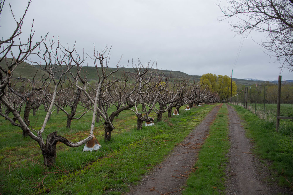 Peach trees in early spring