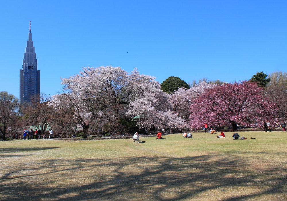 Shinjuku_Gyoen_National_Garden_-_sakura_4.jpg