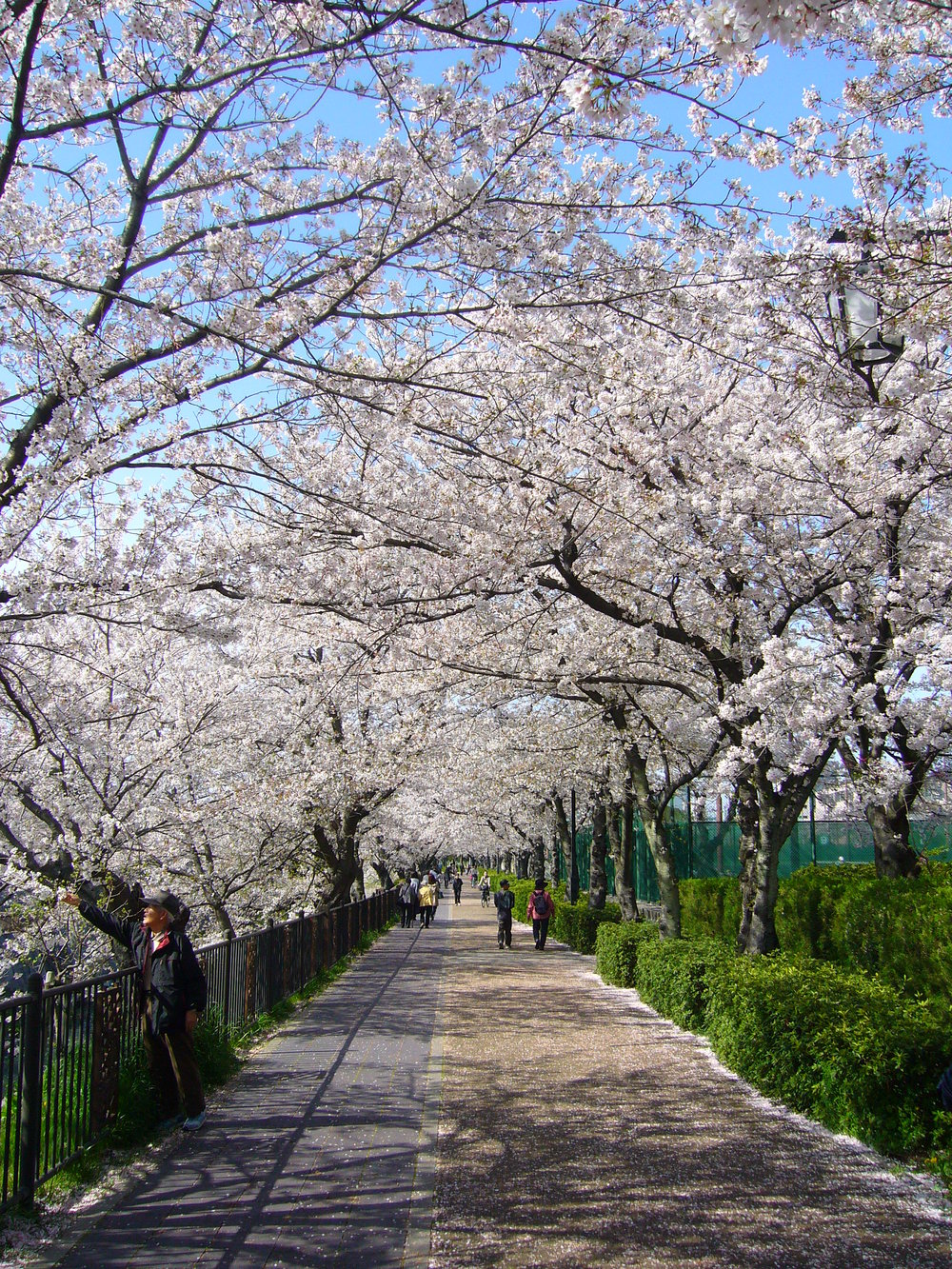 p1190177-sakura-walk.jpg