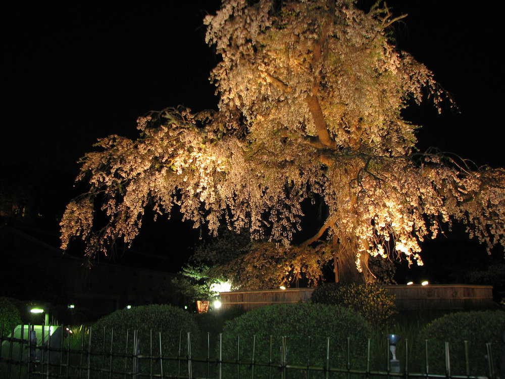 Maruyama Park - kyoto.jpg