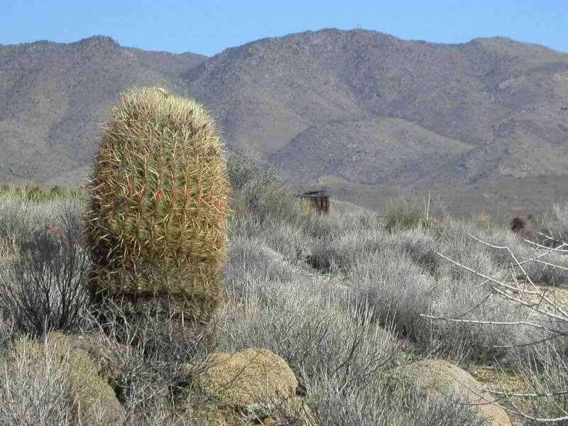 Barrel cactus overlooks a silver chloride mine