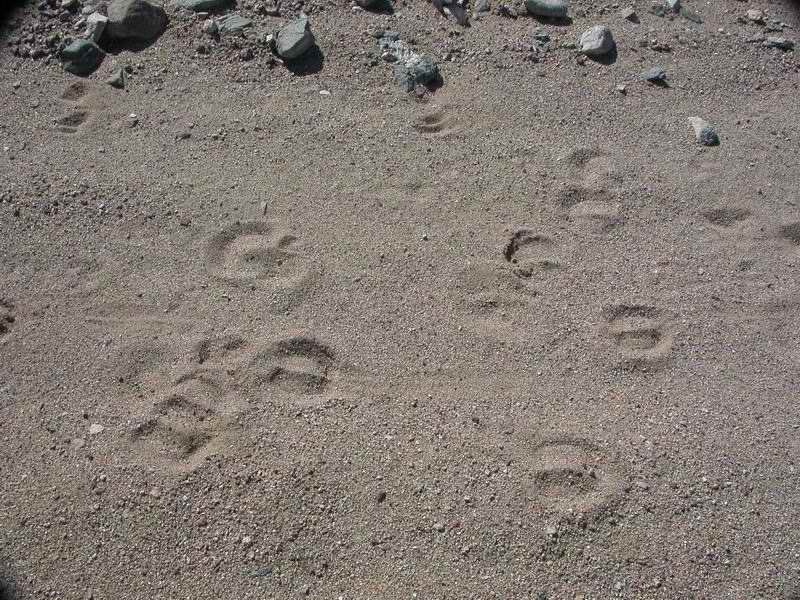 Bighorn sheep tracks