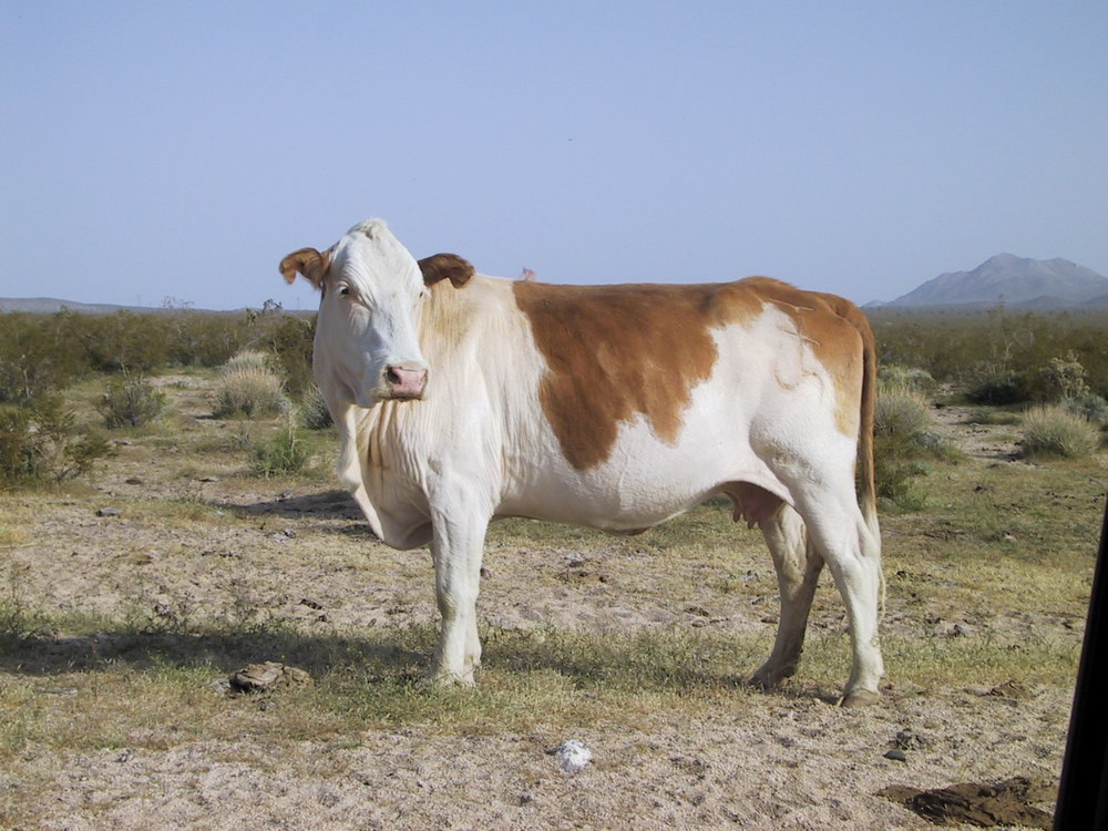 A cow from a nearby herd of free range cattle.