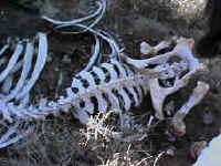 Bleached bones of former explorer?