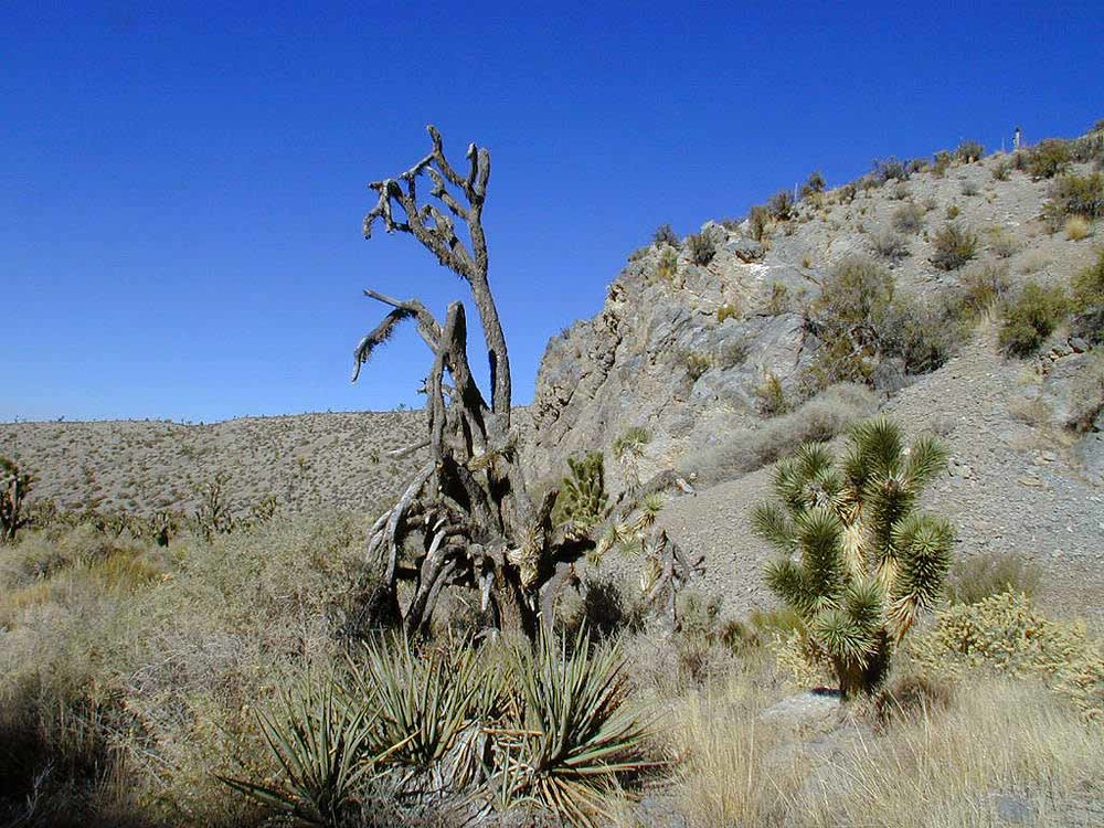Gargantuan twisted and mostly dead Joshua tree