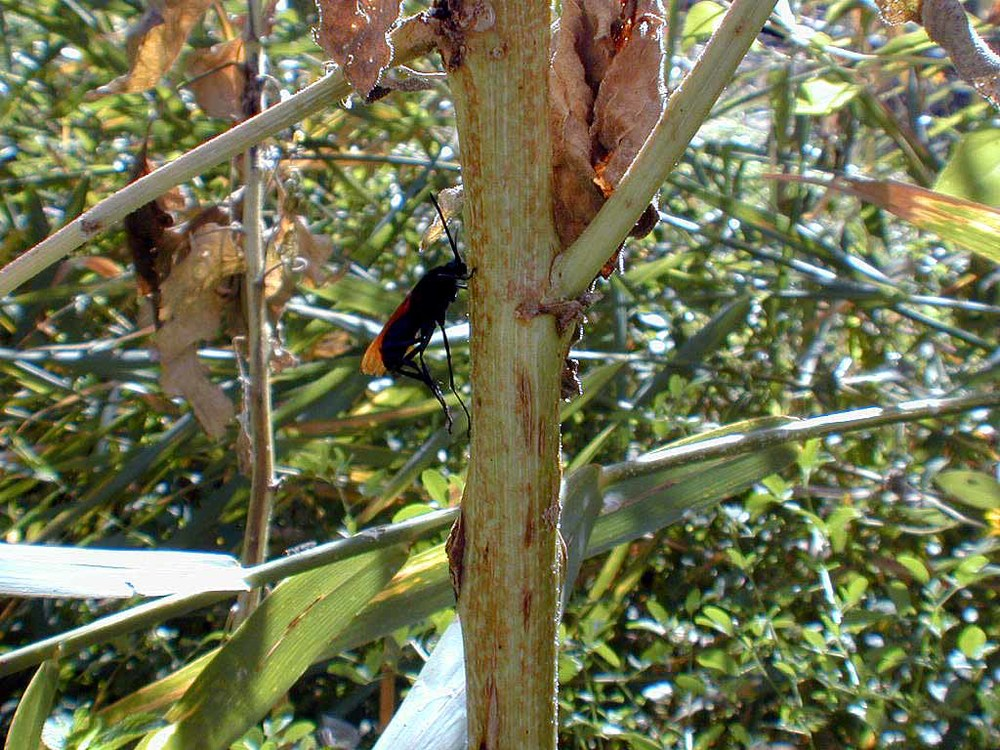 Giant wasp-like insect feeding on the sap oozing from this plant