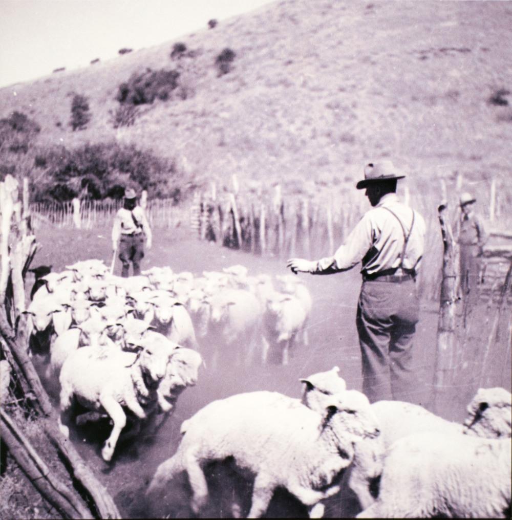 Sheep Ranching